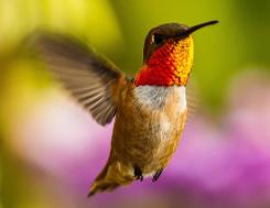Allen's Hummingbird © 2013 Loi Nguyen