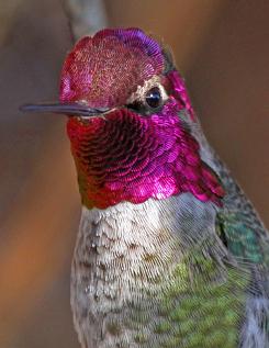 Anna's Hummingbird © 2013 Jon Ramberg