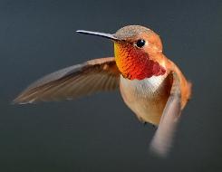 Male Rufous Hummingbird © 2013 Tania Simpson