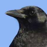 American Crow © 2013 Dave McMullen