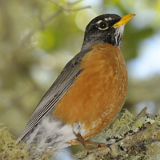 American Robin © 2012 Dave McMullen
