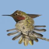 Anna's Hummingbird © 2012 Dave McMullen