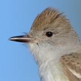 Ash-throated Flycatcher © 2013 Dave McMullen