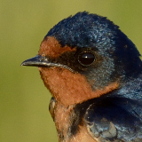 Barn Swallow © 2013 Dave McMullen