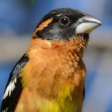 Black-headed Grosbeak © 2013 Dave McMullen