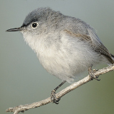 Blue-Gray Gnatcatcher © 2012 Dave McMullen