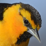 Bullock's Oriole © 2014 Dave McMullen
