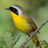 Common Yellowthroat © 2013 Dave McMullen