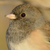 Dark-eyed Junco (at sunrise) © 2013 Dave McMullen