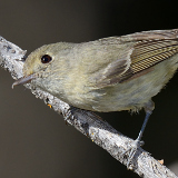 Hutton's Vireo © 2013 Dave McMullen