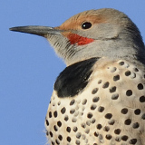 Northern Flicker © 2013 Dave McMullen