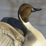 Northern Pintail © 2013 Dave McMullen