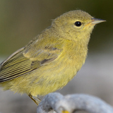 Orange-crowned Warbler © 2013 Dave McMullen