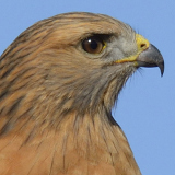 Red-shouldered Hawk © 2013 Dave McMullen