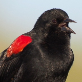 Red-winged Blackbird © 2012 Dave McMullen