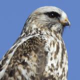 Rough-legged Hawk © 2014 Dave McMullen
