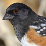Spotted Towhee © 2013 Dave McMullen