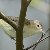 Warbling Vireo © 2014 Dave McMullen