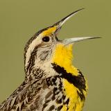 Western Meadowlark © 2013 Dave McMullen
