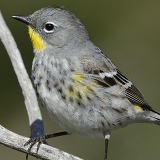 Yellow-rumped Warbler © 2014 Dave McMullen